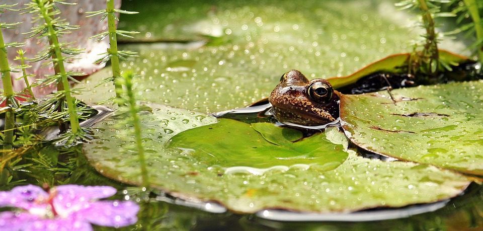 frog lillie pad